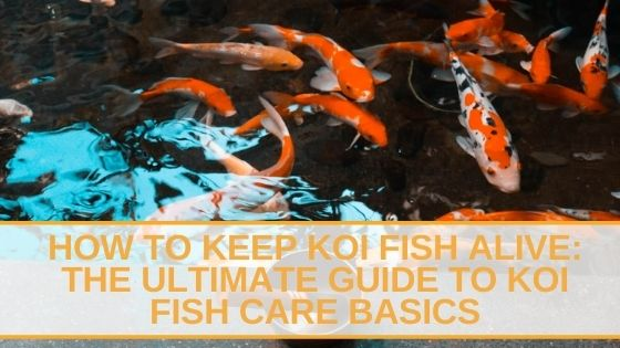 How to Keep Koi Fish Alive