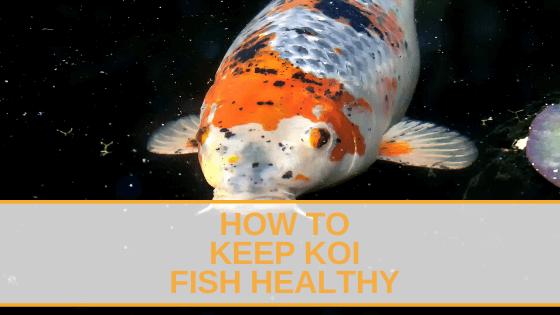 How to Keep Koi Fish Healthy