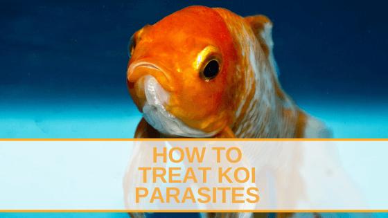How To Treat Koi Parasites