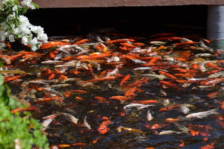 The Key To Health Koi Fish