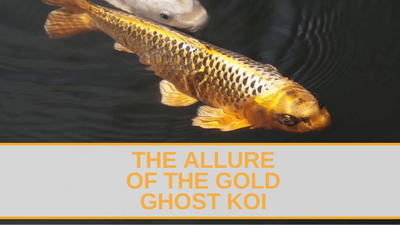 gold ghost koi