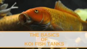 The Basics of Koi Fish Tanks