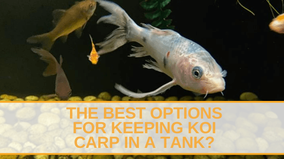 keeping koi carp in a tank