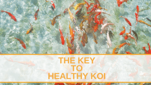 The Key to Healthy Koi