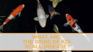 Koi Scale Disease