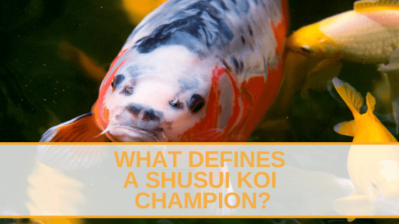 What defines a Shusui Koi Champion
