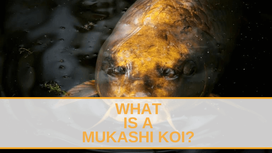 What is a Mukashi Koi