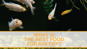 What is the Best Food for Koi Fry