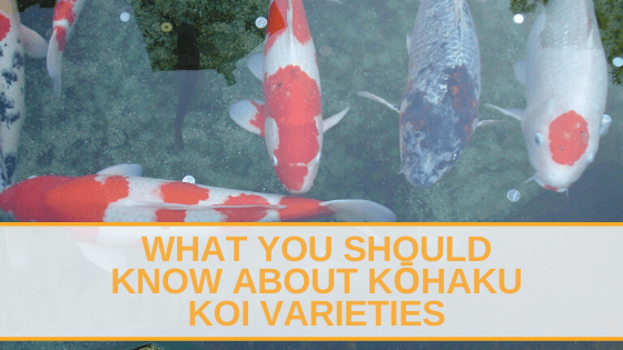 What you should know about Kohaku Koi Varieties
