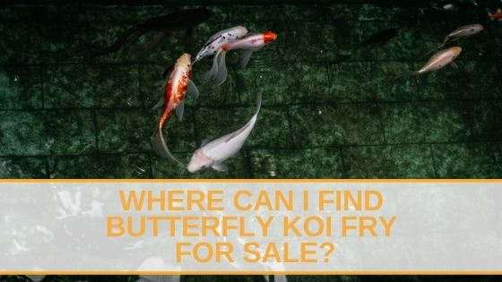 Butterfly Koi Fry For Sale