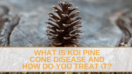 koi pine cone disease