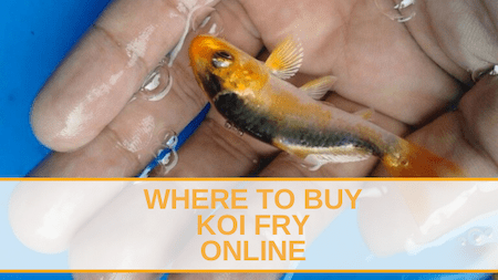 Where to Buy Koi Fry Online