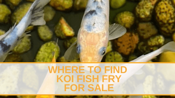 koi fish fry for sale