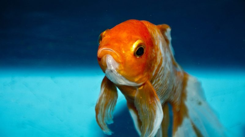 can koi fish live with goldfish