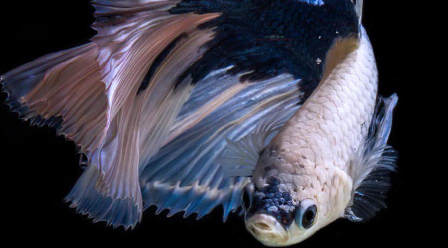 How Much Are Koi Fish carp-4744764_1920