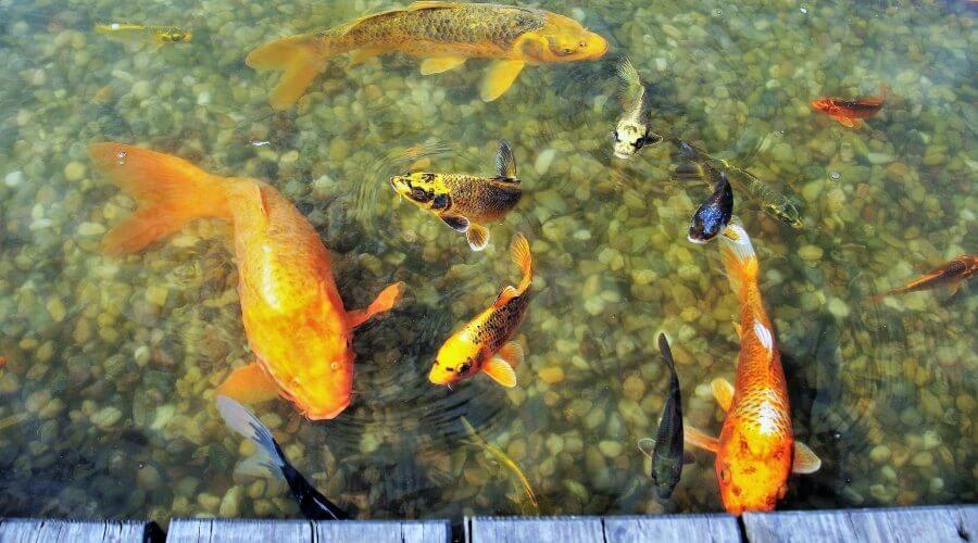 How Much Are Koi Fish - fish-1494732_1920 2