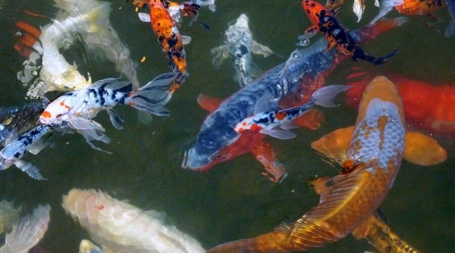 How Much Are Koi Fish