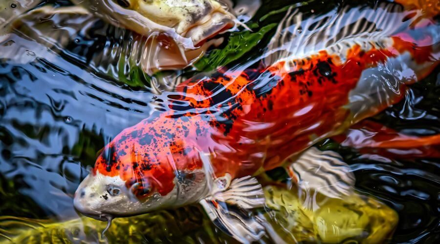 How to Keep Your Koi Pond Water Clear