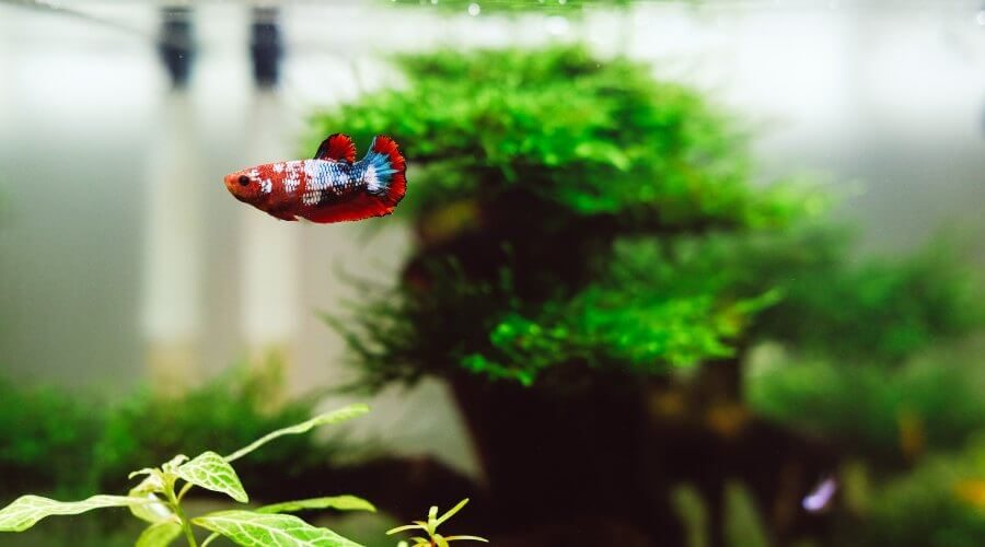 can you put koi in a fish tank