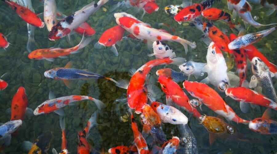how to check salt level in koi pond