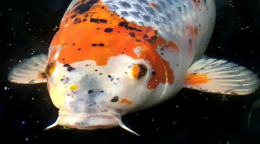 What is Koi Cotton Wool Disease and How Do You Treat It?
