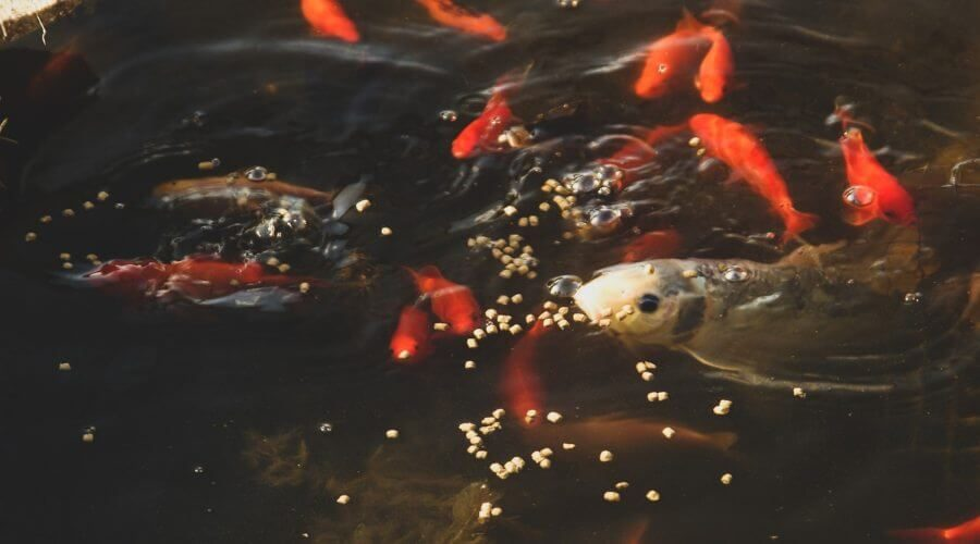 koi fish food for sale near me