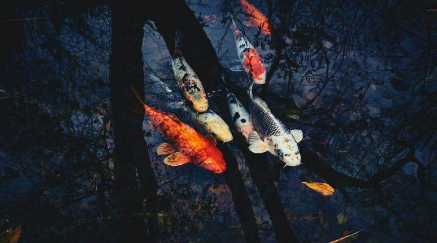 How to Keep Koi Fish Alive