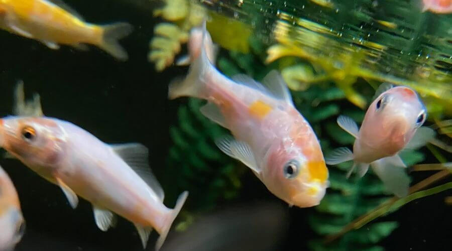how much is a baby koi fish