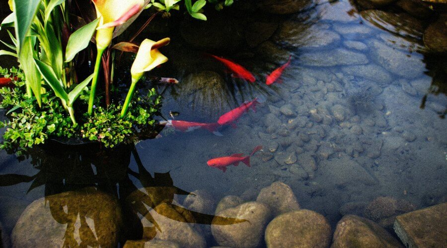 keeping koi in a small pond