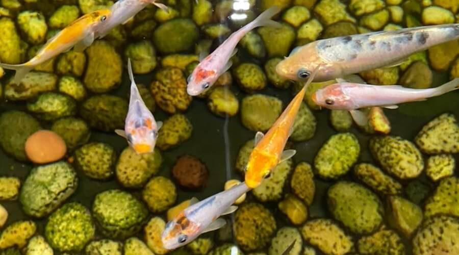 koi fish baby price