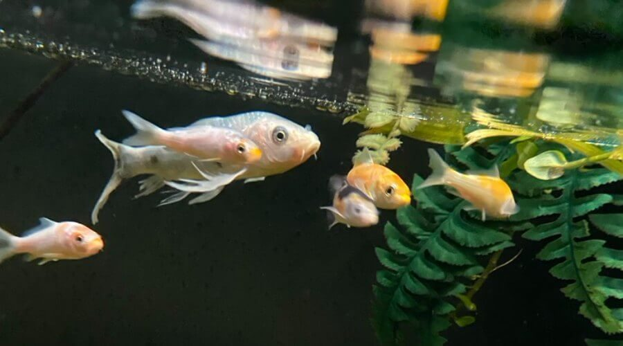 koi fish baby price