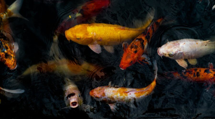 All About Koi Ghost Fish