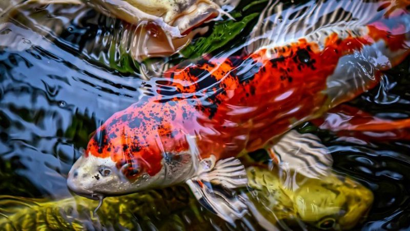 temperature for koi fish tank