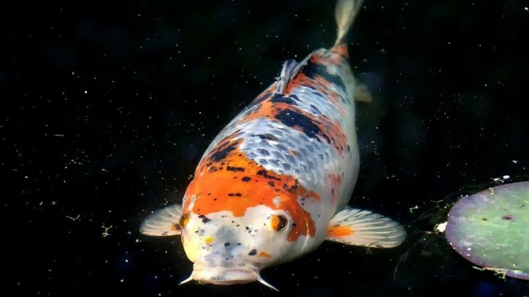 Koi Scale Disease