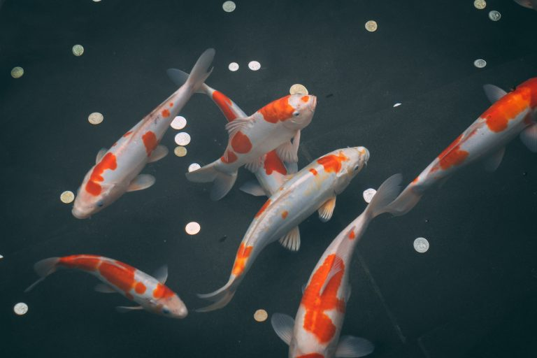A Guide to BaBy Koi Fish Pricing